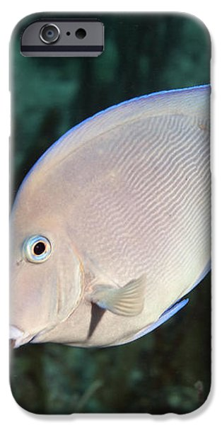 Blue Tang On Caribbean Reef iPhone Case by Karen Doody