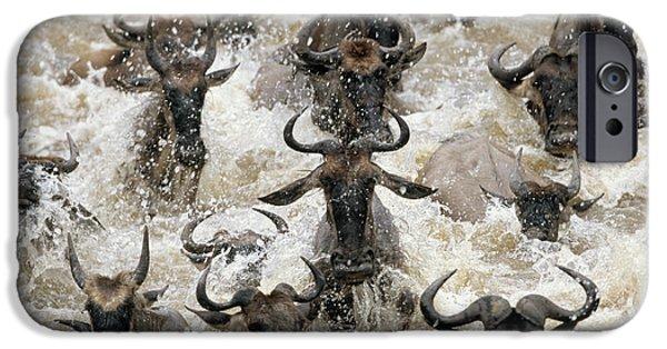 White Beard iPhone Cases - Blue Wildebeest Connochaetes Taurinus iPhone Case by Winfried Wisniewski