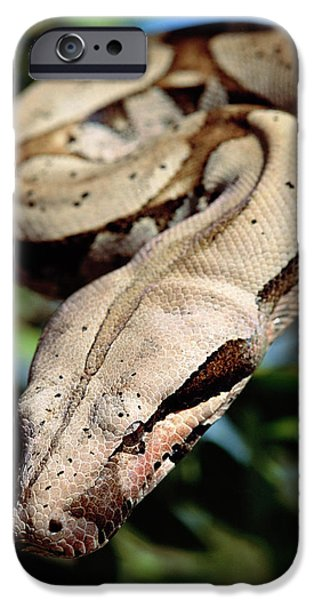 Boa Constrictor iPhone Cases - Boa Constrictor Boa Constrictor iPhone Case by Claus Meyer