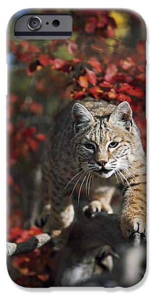 Bobcat Felis Rufus Walks Along Branch iPhone Case by David Ponton