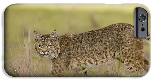 Lynx Rufus iPhone Cases - Bobcat Female Walking Santa Cruz iPhone Case by Sebastian Kennerknecht