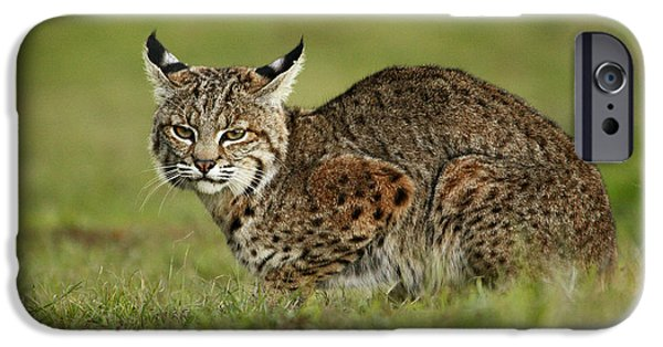 Lynx Rufus iPhone Cases - Bobcat Juvenile Santa Cruz California iPhone Case by Sebastian Kennerknecht