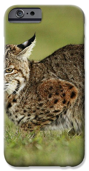 Bobcat Juvenile Santa Cruz California iPhone Case by Sebastian Kennerknecht