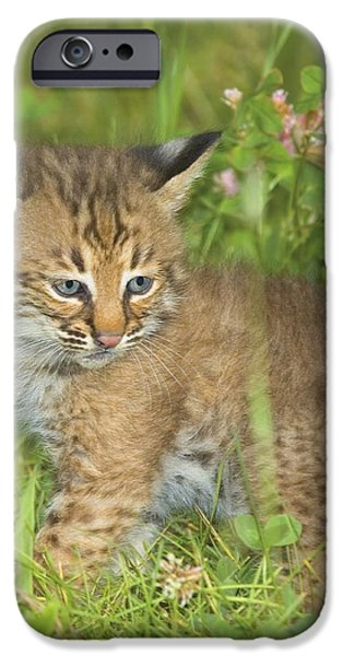 Bobcat Kitten iPhone Case by John Pitcher