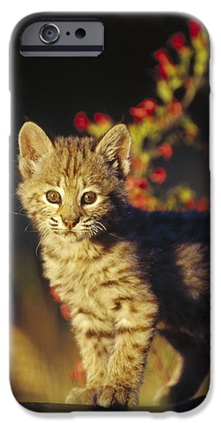 Bobcat Kitten Standing On Log North iPhone Case by Tim Fitzharris