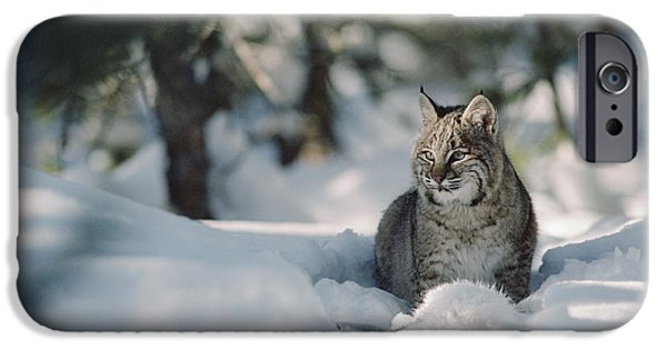 Lynx Rufus iPhone Cases - Bobcat Lynx Rufus Adult Resting In Snow iPhone Case by Michael Quinton