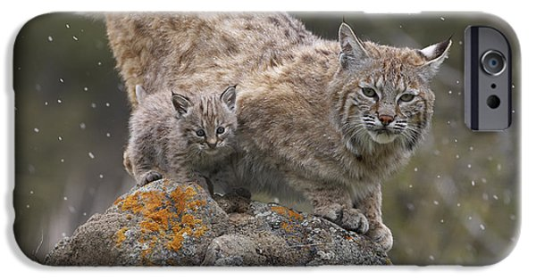 Lynx Rufus iPhone Cases - Bobcat Mother And Kitten In Snowfall iPhone Case by Tim Fitzharris