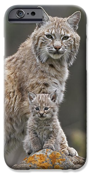 Lynx Rufus iPhone Cases - Bobcat Mother And Kitten North America iPhone Case by Tim Fitzharris
