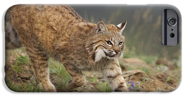 Lynx Rufus iPhone Cases - Bobcat Stalking North America iPhone Case by Tim Fitzharris