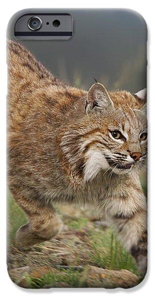 Bobcat Stalking North America iPhone Case by Tim Fitzharris