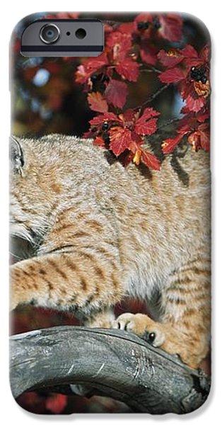 Bobcat Walks On Branch Through Hawthorn iPhone Case by David Ponton