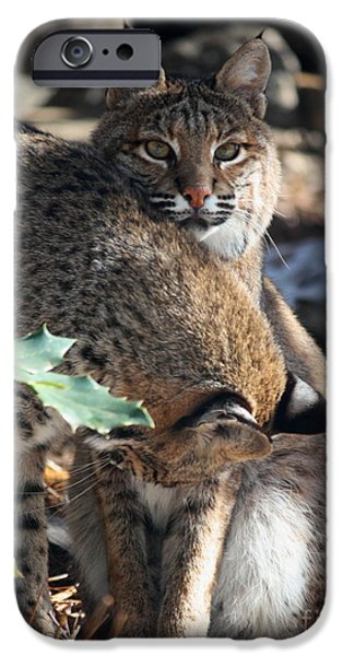Bobcats iPhone Cases - Bobcats iPhone Case by Julian Bralley
