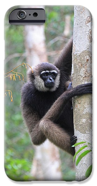 White Beard iPhone Cases - Bornean White-bearded Gibbon iPhone Case by Mark Taylor