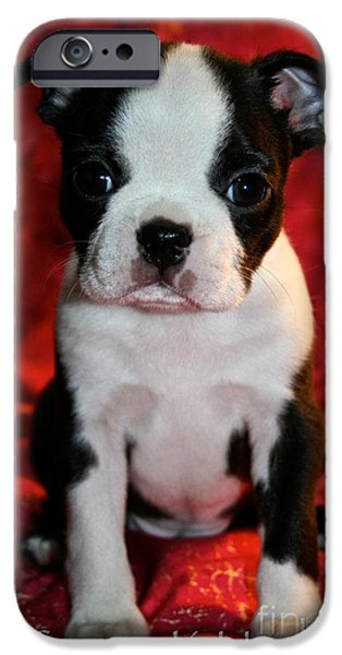 Puppies iPhone Cases - Boston Puppy iPhone Case by Susan Herber