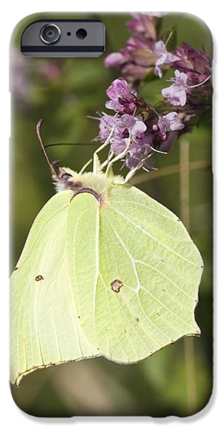 Eating Entomology iPhone Cases - Brimstone Butterfly iPhone Case by Adrian Bicker