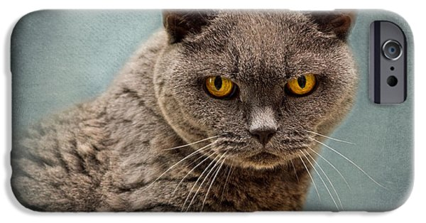 Mature Adult iPhone Cases - British Blue Shorthaired Cat iPhone Case by Louise Heusinkveld