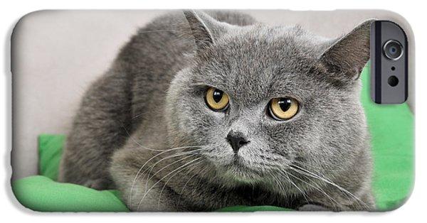 Gray Hair iPhone Cases - British Shorthair cat iPhone Case by Ilan Rosen