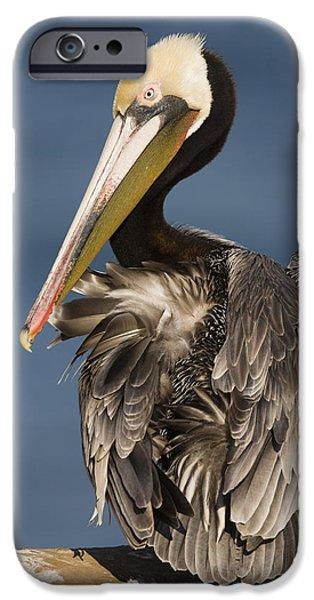 Brown Pelican Preening La Jolla iPhone Case by Sebastian Kennerknecht