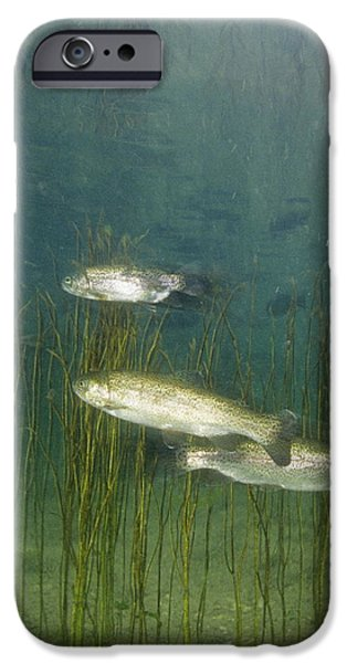 Brown Trout iPhone Case by Alexis Rosenfeld