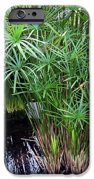 Papyrus iPhone Cases - Bulrush (cyperus Papyrus) iPhone Case by Sheila Terry