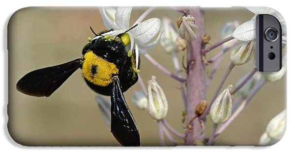 Eating Entomology iPhone Cases - Bumblebee On Sea Squill Flowers iPhone Case by Photostock-israel