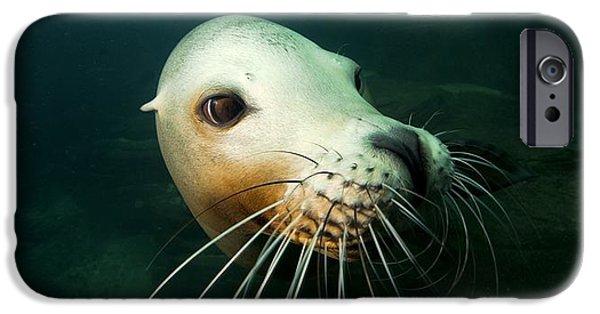 California Sea Lions iPhone Cases - California Sea Lion iPhone Case by Alexis Rosenfeld
