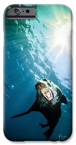 California Sea Lions iPhone Cases - California Sea Lion, La Paz, Mexico iPhone Case by Todd Winner