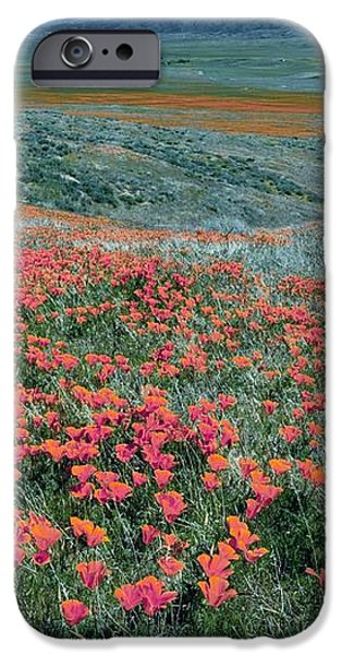 Californian Poppies (eschscholzia) iPhone Case by Bob Gibbons