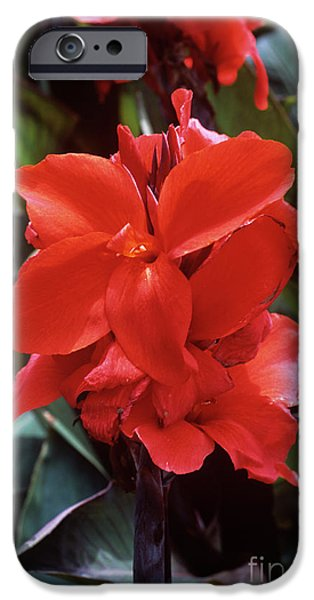 Canna iPhone Cases - Canna Lily assaut iPhone Case by Adrian Thomas