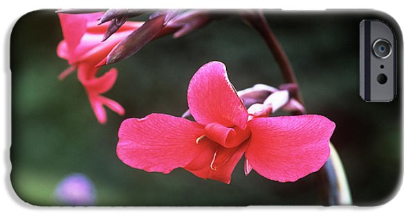 Canna iPhone Cases - Canna Lily (canna X Ehemanii) iPhone Case by Adrian Thomas