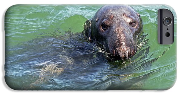 Chatham iPhone Cases - Cape Cod Harbor Seal iPhone Case by Juergen Roth