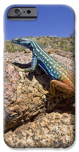 Cape Flat Lizard  South Africa iPhone Case by Piotr Naskrecki