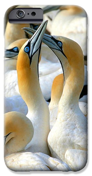 Bonding iPhone Cases - Cape Gannet Courtship iPhone Case by Bruce J Robinson