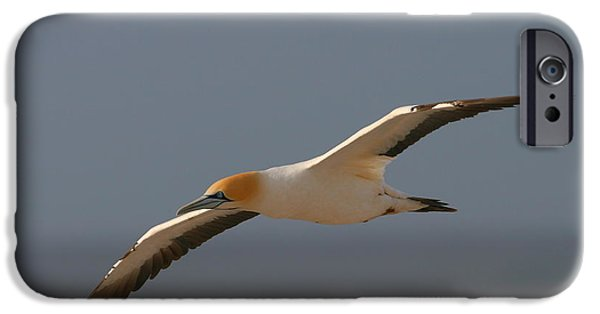 Sea Birds iPhone Cases - Cape Gannet In Flight iPhone Case by Bruce J Robinson