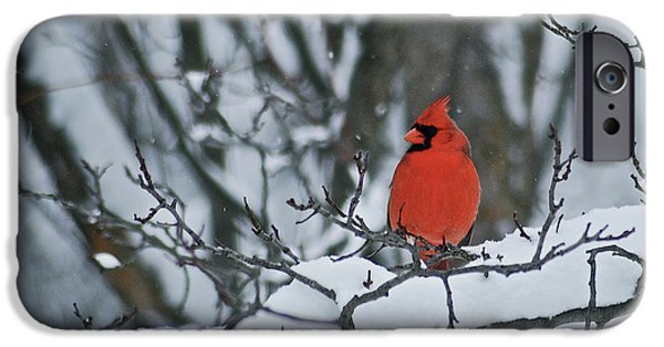 Birds iPhone Cases - Cardinal and snow iPhone Case by Michael Peychich