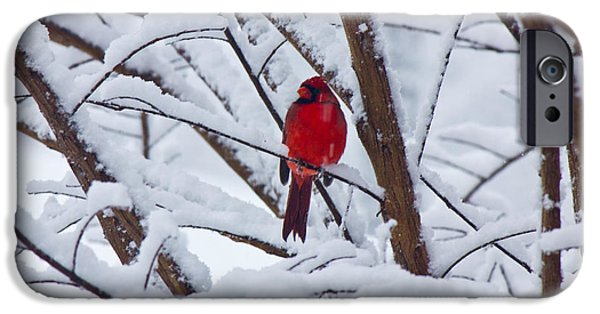 Snow Scene iPhone Cases - Cardinal in the Snow 2 iPhone Case by Barry Jones