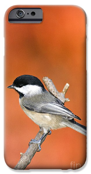 Carolina Chickadee - D007812 iPhone Case by Daniel Dempster