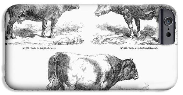 Swiss Horn iPhone Cases - Cattle Breeds, 1856 iPhone Case by Granger