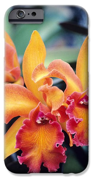 Cattleya Orchids iPhone Case by Allan Seiden - Printscapes