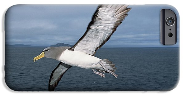 Chatham iPhone Cases - Chatham Albatross Thalassarche Eremita iPhone Case by Tui De Roy