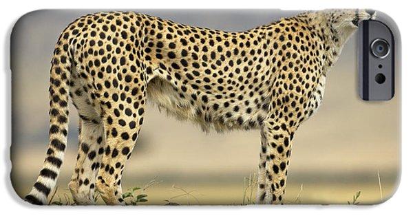 Best Sellers -  - Mounds iPhone Cases - Cheetah Acinonyx Jubatus On Termite iPhone Case by Winfried Wisniewski