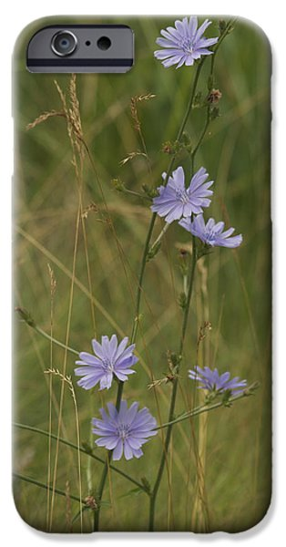 chicory 2765 iPhone Case by Michael Peychich