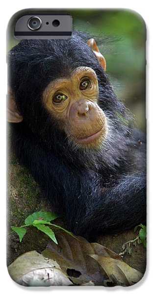 Animalsandearth iPhone Cases - Chimpanzee Pan Troglodytes Baby Leaning iPhone Case by Ingo Arndt