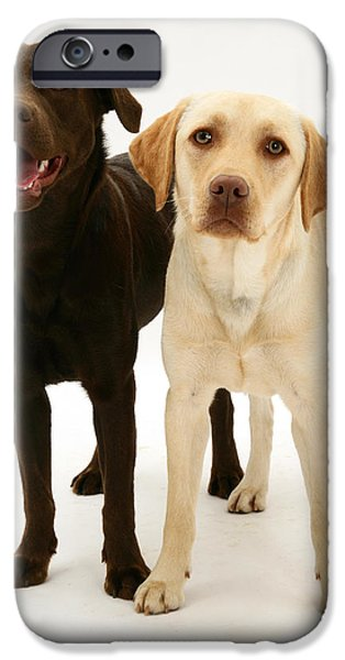 Chocolate Lab iPhone Cases - Chocolate And Yellow Labrador Retrievers iPhone Case by Mark Taylor