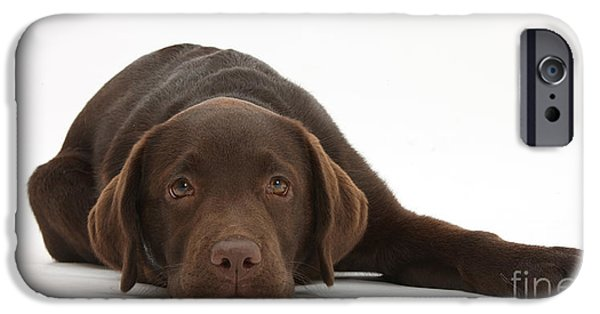 Chocolate Lab iPhone Cases - Chocolate Lab Pup Lying Down iPhone Case by Mark Taylor