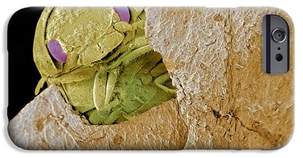 Eating Entomology iPhone Cases - Cigarette Beetle, Sem iPhone Case by Volker Steger