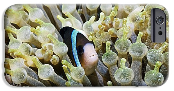 Amphiprion Clarkii iPhone Cases - Clarkes Anemonefish iPhone Case by Georgette Douwma