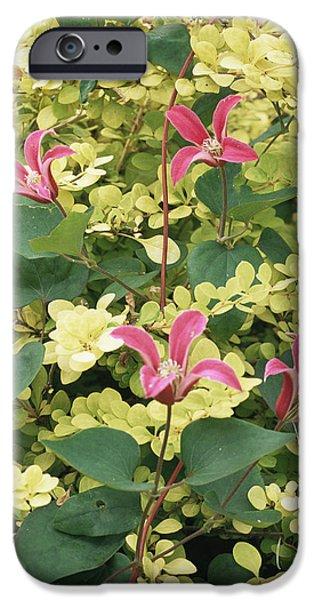 Princess Diana iPhone Cases - Clematis Texensis princess Diana iPhone Case by Archie Young