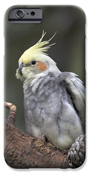 Cockatoo iPhone Cases - Cockatiel iPhone Case by Bob Gibbons