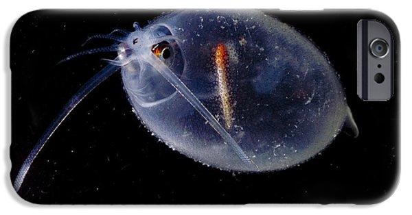 Cranchia iPhone Cases - Cockatoo Squid iPhone Case by Dante Fenolio